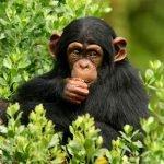 Chimpanzee Tracking & habituation