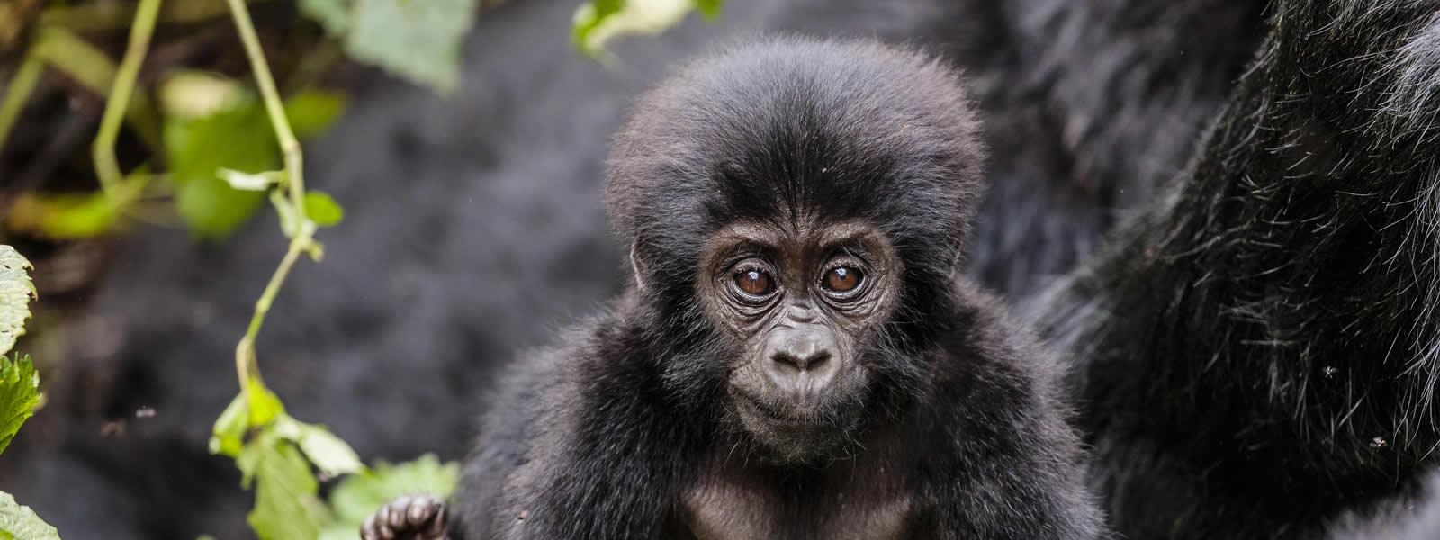 Gorilla Trekking and Mount Sabinyo hiking Safari in Uganda will take you to Mgahinga gorilla national park