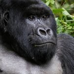 A silverback is an adult male gorilla, typically more than 12 years of age and named for distinctive patch of silver hair on his back silverback gorilla