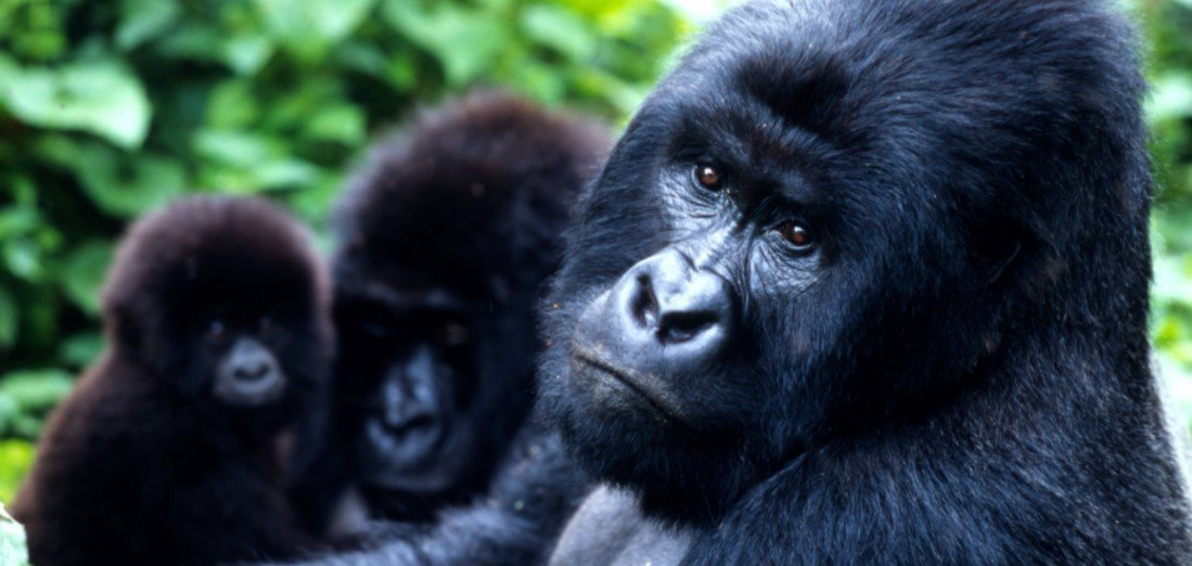 Doing mountain gorillas and cultural trip to Uganda for a big game safari to see the big five or to track primates like mountain gorillas, chimpanzees and the other 12 species of primates found across The Pearl of Africa sounds Kikorongo