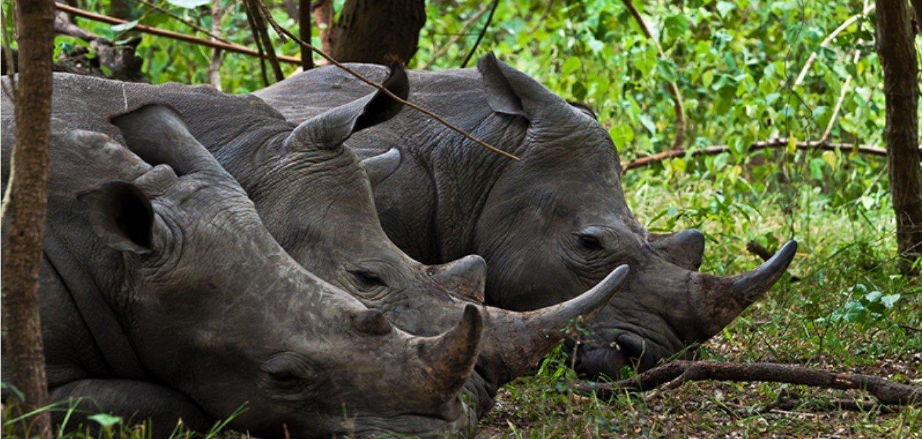 Zziwa Rhino Sanctuary few years ago in Uganda the future of the white rhinos was rather bilk thanks to the zziwa rhino sanctuary our children