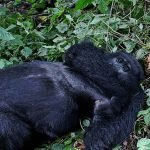 Agashya family the Group 13 one of the famous gorilla groups encountered on gorilla safari derives its name from the counts of members that it possessed at the time of habituation. Formerly when the mountain gorilla habituation
