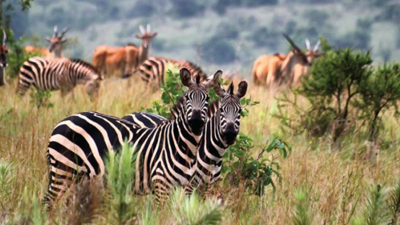Why Safari In Rwanda With a variety of natural wonders in Rwanda, it's almost impossible not to enjoy an adventurous and exhilarating vacation you've always desired. Rwanda known as 'land of thousand hills' is a beautiful country