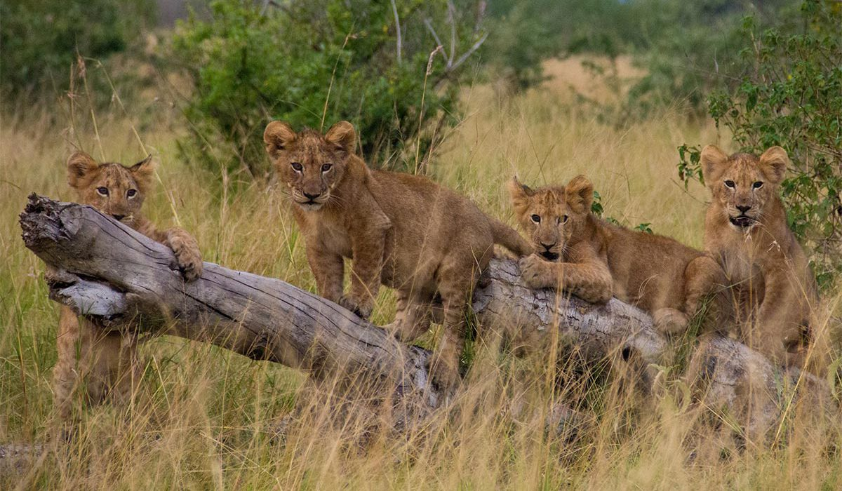 uganda travel guide tips the pearl of Africa is home to most diverse and concentrated ranges of African fauna including endangered gorillas and chimpanzees