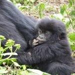 Amahoro Gorilla Family / group, Agashya famous gorilla Family groups the Group 13 one of the famous gorilla groups encountered on gorilla safari derives its name from the gorilla trekking safari