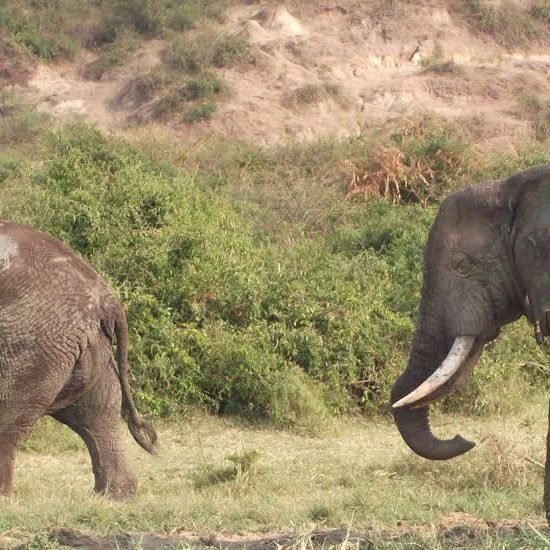 Queen Elizabeth National Park is one of the popular destination in Uganda and Africa best for a memorable game drive
