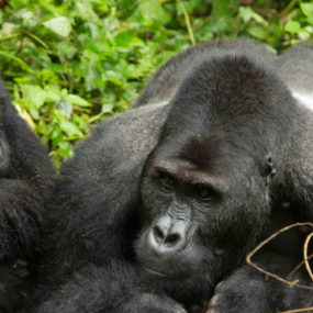 Kampala-Entebbe-lake Mburo National park, Outgoing early game viewing proceed to bwindi – home of gorillas, Gorilla tracking in bwindi- Life-time memorable experience, a healthy breakfast, prepare return back to Kampala