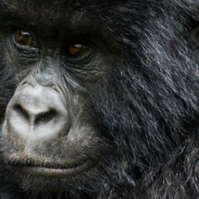 Bwindi Forest, The home of gorillas in Uganda, Gorilla tracking experience in Bwindi, Morning breakfast and transfer back to Kampala, Half day rafting on river Nile and visit source of river Nile, Transfer back to Kampala-Entebbe