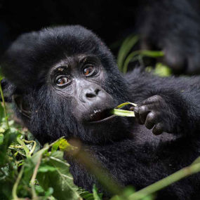 Queen Elizabeth national Park, Gorilla Tracking in Bwindi Forest, Chimpanzee trekking in Kyambura gorge, Entebbe near the airport, and drive to Bwindi