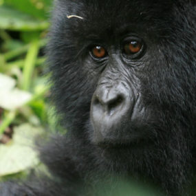 Morning game drive – afternoon boat cruise,Chimpanzee tracking and afternoon transfer Queen elizabeth,Kampala to Kibale forest national park, Gorilla tracking in uganda – Life-time memorable experience, back to Kampala city-Entebbe airport