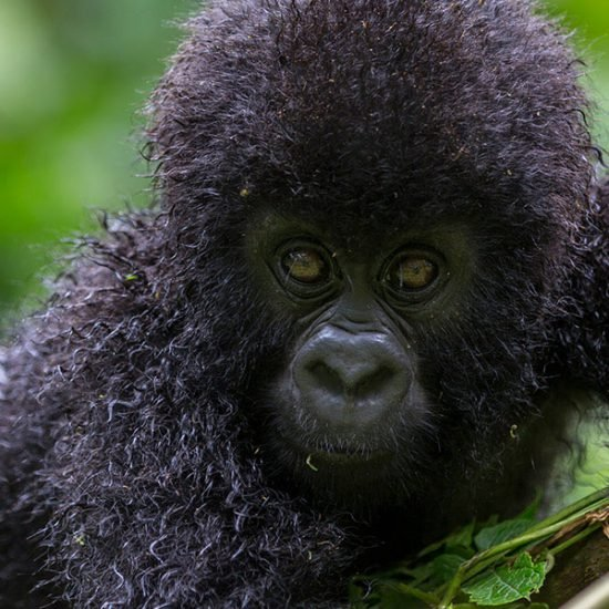 Going on to Kibale forest park, Chimpanzee trekking activity and going on to Queen elizabeth national park., Bwindi Forest National park, Gorilla tracking in bwindi – Life-time memorable experience