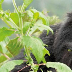 Africa adventure vacations Gorilla Safari Trip Volcamoes