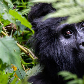 Kigali City Tour, Nyungwe Forest, Chimp trekking in Nyungwe forest, Kibuye City, Kibuye- Volcanoes national park in Kinigi, Gorilla tracking