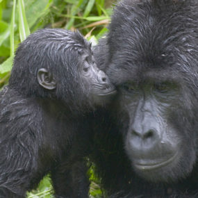 Gorilla tracking in bwindi- Life-time memorable experience, lake Mburo to Bwindi national Park, ultimate gorilla experience, magnificent giant mountain gorillas in bwindi and a variety of other forest primates