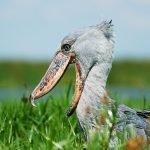 Birding Safaris and bird watching Uganda