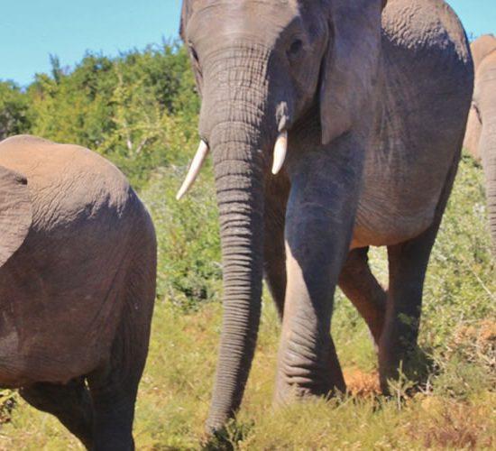 Kampala City Tour, Jinja Tour, Murchison Falls National park via Ziwa Rhino sanctuary, Game Drive and Boat Cruise, Kibale Forest National Park, Chimpanzee Tracking and Nature Walk, Queen Elizabeth National Park and a Boat Cruise, Game Drives and Nature Walk, Bwindi Impenetrable Forest Ishasha, Gorilla Tracking and Cultural Walk, Lake Bunyonyi, Volcanoes National Park – Rwanda, Golden Monkey tracking/Hike to Dian Fossey Grave, Lake Kivu, Nyungwe Forest National Park, Forest Canopy walk and Colobus Monkey Tracking, Kigali