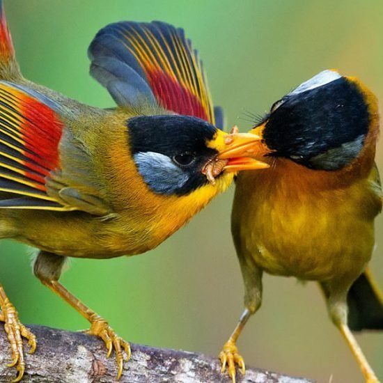 African Birding Safaris – Birdwatching Tours, Uganda Birding Tours, black bee- eater, swallow tailed bee-eater, red-throated bee- eater, woodland king fisher, francolins, hornbills, grey heron, hamerkop, doves, mousebirds, shrikes, flycatchers, cuckoos, coucals, woodpeckers, crombecsand warblers. The area close to the river is also home to ducks, geese, stilts