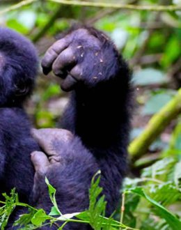 ever cross your mind apart from the time you come across the gorillas. The gorillas have tended to occupy the tourism industry for this 21st century. You will be guided in the in the forest which involves hilly hikes and sometimes slippery during the rainy season. But the encounter with a Gorilla is worthwhile the tiredness that takes about 2-6hours before you meet them and you will only be left with these giants for a maximum of 1hour.It is wise to carry packed lunch and water for this exercise