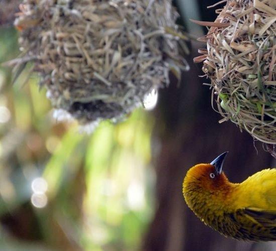 Uganda Hardcore Forest Birding Safari