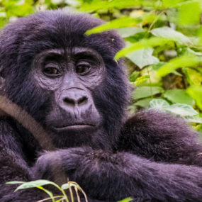 10 Days Gorilla trekking Safari in Congo and Uganda is an ultimate gorilla tour safari package that will take you to congo's Virunga national park, batwa trail cultural