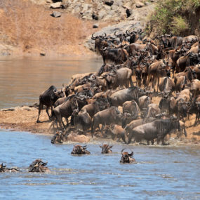 wildebeest and zebra migrate from the Serengeti in Tanzania