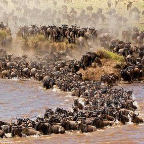 Wild beat migration
