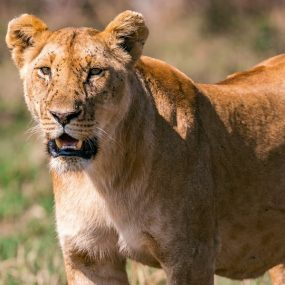 big five Uganda safari will take you to Murchison Falls National Park to search for the four members of the African big five members and other wildlife species Morning game drive