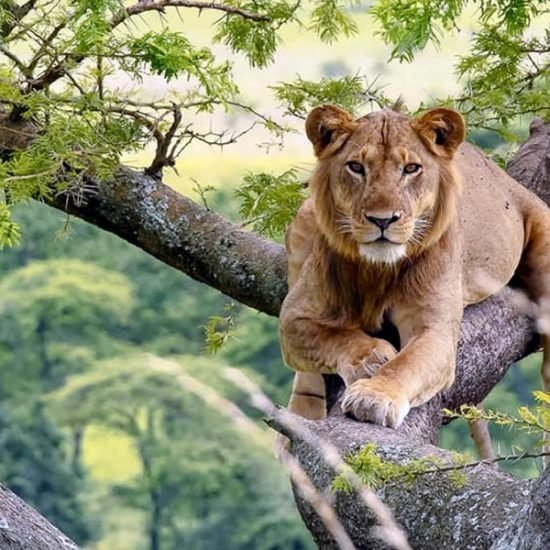 uganda safari Queen Elizabeth National Park to encounter wildlife, tree climbing lions and big mammal,ver 606 bird species,chimpanzee tracking