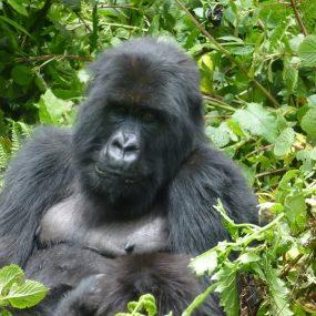 Bwindi impenetrable forest national park double mountain gorilla trekking