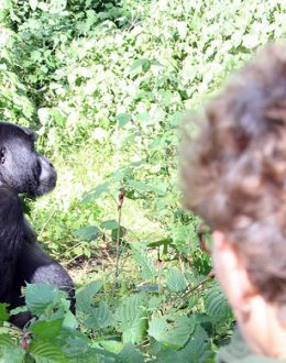 Bwindi Mountain gorilla habituation tour from Kigali is one of the shortest mountain gorilla experience tour Bwindi Impenetrable forest National Park