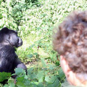 Bwindi Mountain gorilla habituation tour from Kigali is one of the shortest mountain gorilla experience tour Bwindi Impenetrable forest National Park