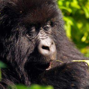mountain gorilla habituation safari is an outstanding mountain gorilla experience safari and Bwindi impenetrable national park