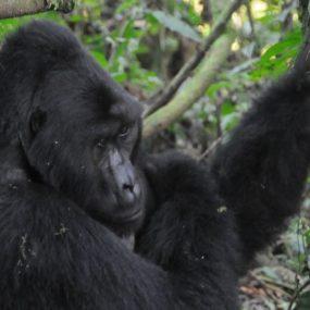 Uganda Safari will take you to Bwindi impenetrable forest national park for mountain gorilla trekking and Kibale Forest national park