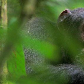 chimpanzee habituation and tracking safari to Kibale Forest national park in Uganda experience of chimpanzees