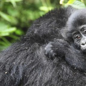double mountain gorilla tracking to Bwindi Impenetrable forest national park
