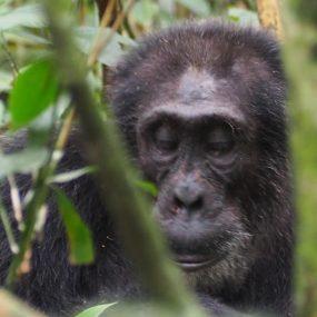 Mountain Gorillas and Chimpanzee habituation involves staying with both primates longer time than comparing to mountain gorilla and chimpanzee tracking uganda safari