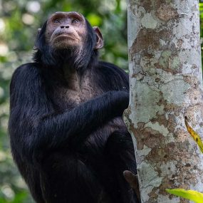 Kibale Forest National Park is the answer to chimpanzee tracking primates