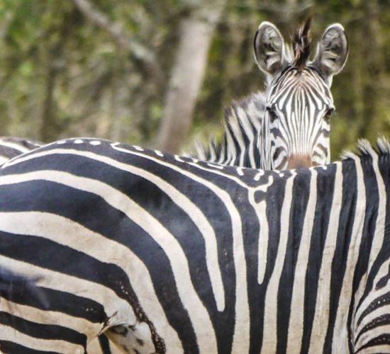 3 days Lake Mburo national park Uganda Safari will allow you to explore Lake Mburo national park Uganda's smallest savannah park