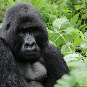 mountain gorilla trekking and Golden Monkey Habituation experience safari Mgahinga gorilla national park