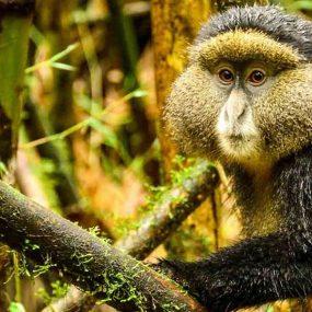 Mgahinga Uganda gorilla and golden monkey safari Mgahinga gorilla national park