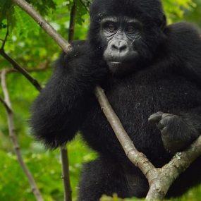 Mgahinga gorilla trekking safari from Kigali will takes you to Mgahinga Gorilla National Park