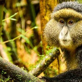 Mgahinga mountain gorilla Golden monkeys Batwa trail experience Mount Sabinyo hiking safari