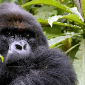 Mountain Gorilla Habituation Safari in Uganda is one exciting gorilla tours for unforgettable life time wildlife experience Bwindi Impenetrable national park