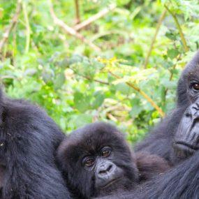 Mountain Gorilla Habituation and tracking Safari to Bwindi Impenetrable forest national park in Uganda, double experience of mountain gorillas