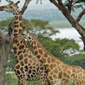 Uganda safari will take you to Murchison falls national park in the northwestern Uganda. Murchison Falls national park is one of the oldest wildlife
