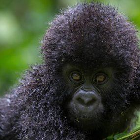 Uganda gorilla trekking wildlife safari Queen Elizabeth national park Uganda and east Africa wildlife tree climbing lions Lake Bunyonyi