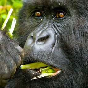 Uganda Mountain Gorilla trekking Kigali city national airport to Bwindi Impenetrable forest national park in Uganda