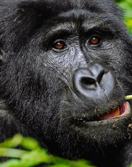 Uganda gorilla safari will take you to Bwindi impenetrable forest national park