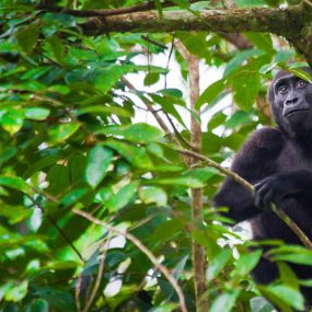 Uganda safari for chimpanzee & gorilla trekking and golden monkey experience is a great ape safari that will take you to Kibale Forest national park for chimpanzee tracking