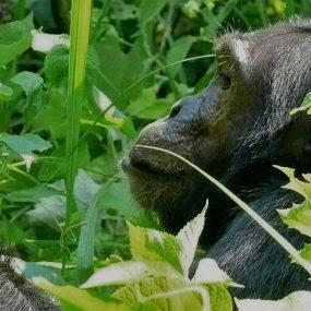 Uganda primate safari Africa's primate chimpanzee habituation experience Bwindi Impenetrable forest national park mountain gorillas for gorilla trekking